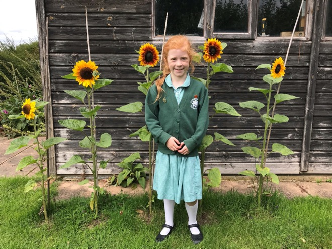 Charlotte began growing these sunflowers when the lockdown began – they are nearly as tall as her!